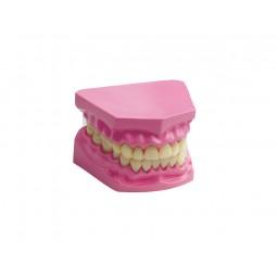 Diş Maketi